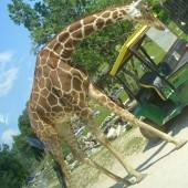 Safari---Giraffa1_1242689093