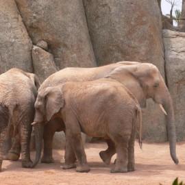 Bioparc-elefanti_1308063353