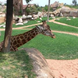 Bioparc-giraffa_1308063353