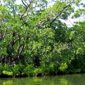 14Ampanity- mangrovie