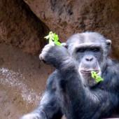 Scimmie Loro Parque 01