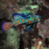 DSC_3955 Mandarin fish