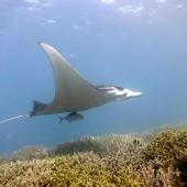DSC_4720 Yap - Snorkeling con le mante giganti