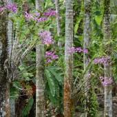 DSC_4994 Yap orchidee sulle palme