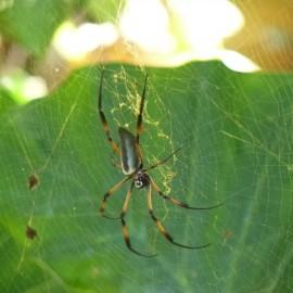 314-I colori di Mahè-Il ragno delle Seychelles