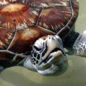 bentota tartarughe tusoperator