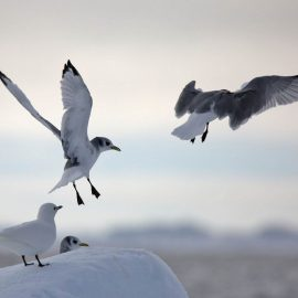 Kittiwakes sul pack