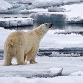 Orso polare sul pack
