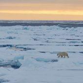 Orso polare sul pack al tramonto