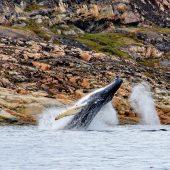 DSC_3398 Le balene della baia di Aasiaat si divertono