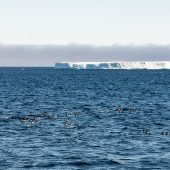 DSC_3932 Urie e grandi iceberg al largo di Cape Dyer