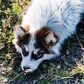 DSC_4065 Cucciolo husky