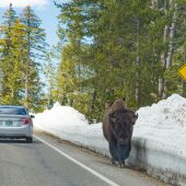 Bisonte solitario sul Dunraven Pass