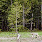 Coyote al limitare della Firehole Drive Forest