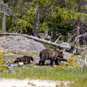 Mamma grizzly e i suoi due piccoli - Upper Geyser Basin