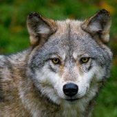Due Calzini - il capobranco dei lupi dell'Haliburton Wolf centre
