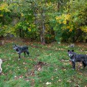 I lupi dell'Haliburton Wolf Centre