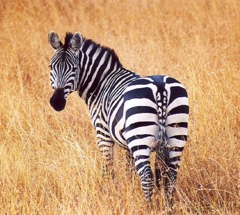 zebra_resized