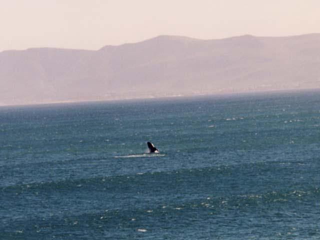 balene-a-hermanus