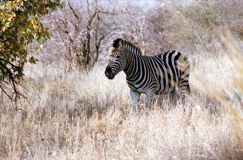 kruger-zebra