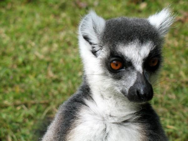 036-Nahampoana---lemure-Catta
