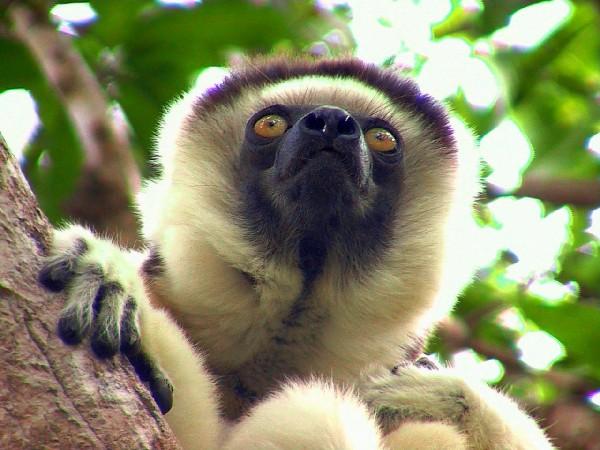 044b-Nahampoana---lemure-Sifak