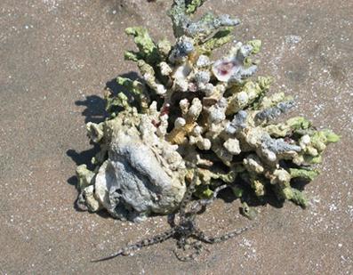 Corallo-e-stella-marina-03