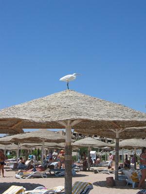 Gabbiano-spiaggia-Sharm-03