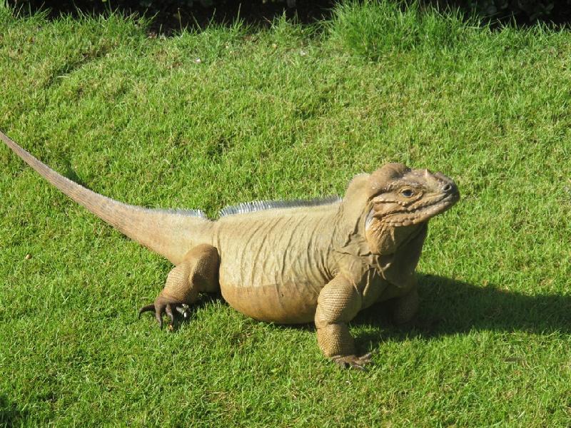 Iguana-Bayahibe-05