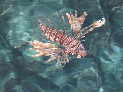 Pesce-leone-scorpione-01