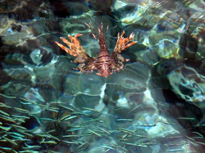 Pesce-leone-scorpione-02