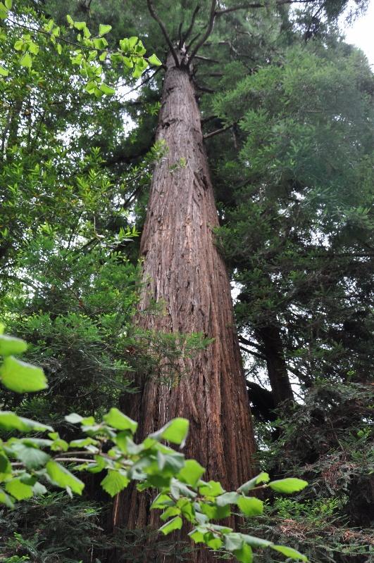181-Muir-Woods-NP-Sequoia