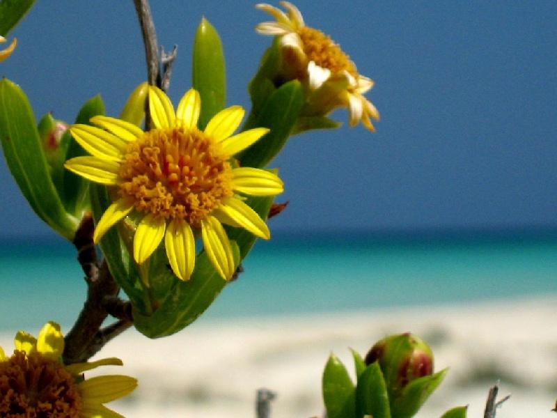 cuba-cayo-levisa-fiori-gialli