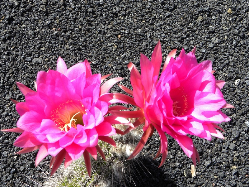 fiori-rosso