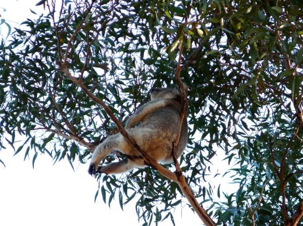 Kangaroo-I8
